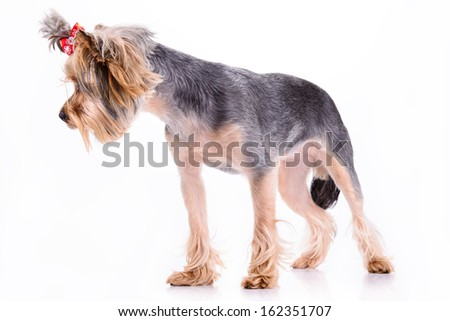 Yorkshire terrier dog stand. pet portrait isolated on white background