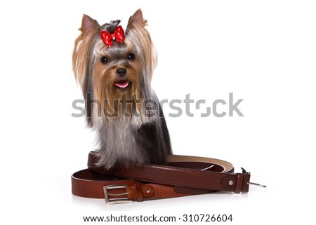 Yorkshire Terrier dog standing and looking at the camera (isolated on white) - stock photo