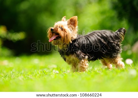 Yorkshire Terrier Dog Sticking Its Tongue Out in the Yard - stock photo