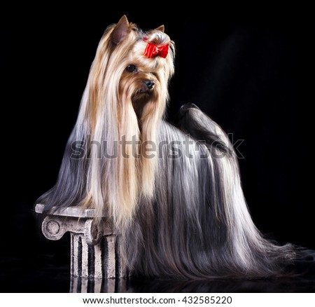 Yorkshire Terrier Dog with long groomed Hair Lying - stock photo