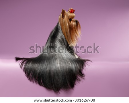 Yorkshire Terrier Dog with long groomed Hair Sits Back on Purple background - stock photo