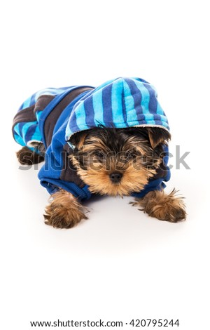 Yorkshire Terrier dressed for dogs isolated on white background - stock photo