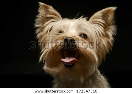 Yorkshire Terrier funny face