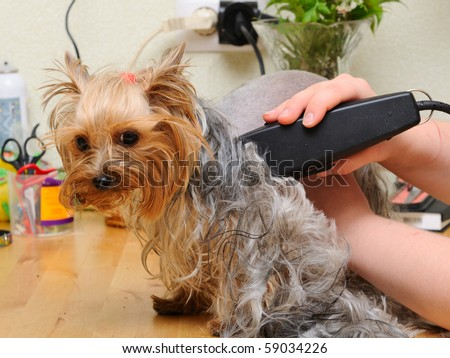 yorkshire terrier  getting his hair cut at the groomer - stock photo