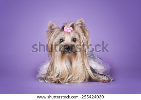 Yorkshire terrier in a dress isolated on a purple background - stock photo