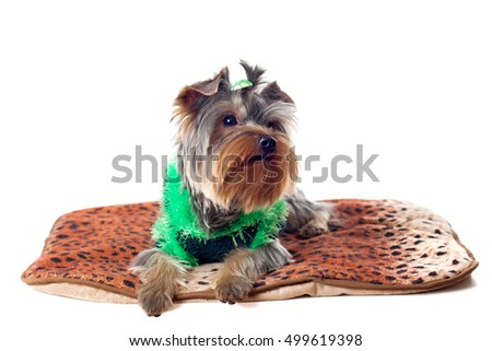 Yorkshire Terrier in a knitted clothes is lying on the Mat, isolated on white background