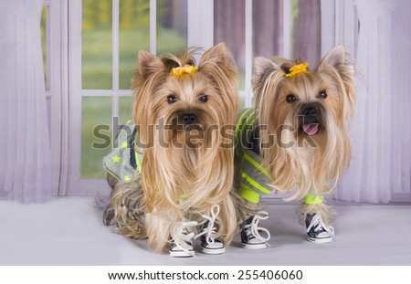 Yorkshire terrier in a tracksuit at the window of the cottage - stock photo