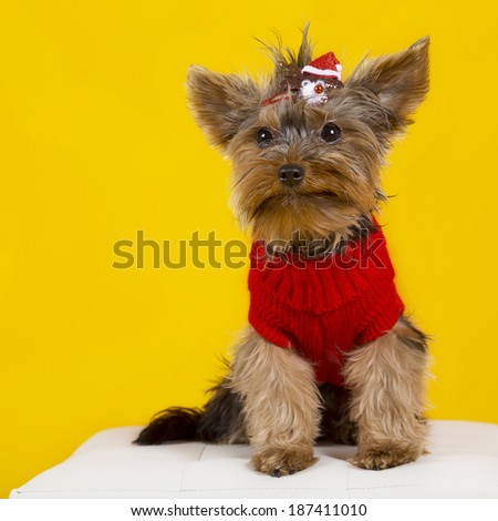 Yorkshire terrier in clothes