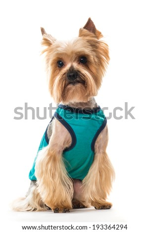 Yorkshire terrier in clothes on a white background - stock photo