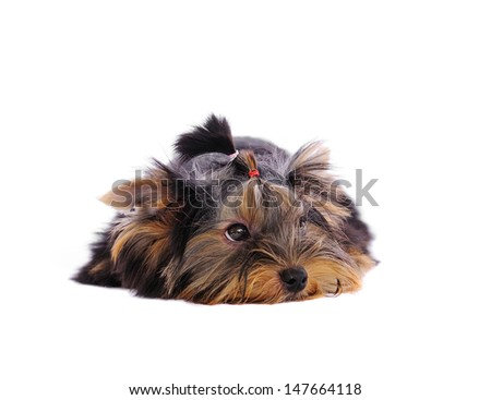 Yorkshire Terrier  in front of a white background - stock photo
