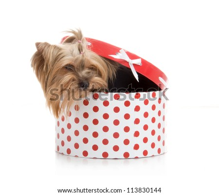 Yorkshire Terrier in gift box, studio shot on white background - stock photo