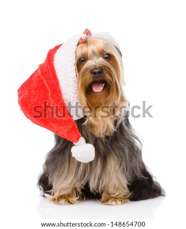 Yorkshire Terrier in red christmas Santa hat. isolated on white background