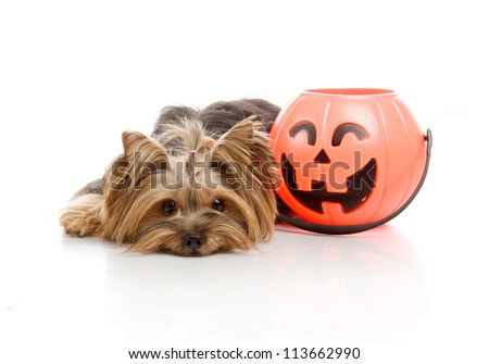 Yorkshire Terrier in studio with  Halloween pumpkin on white background - stock photo