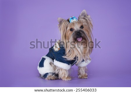 Yorkshire Terrier in warm clothes isolated on purple background