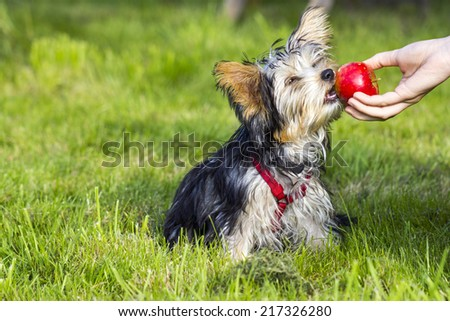 yorkshire terrier is eating apple - stock photo