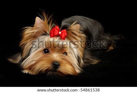 Yorkshire Terrier isolated on black - stock photo
