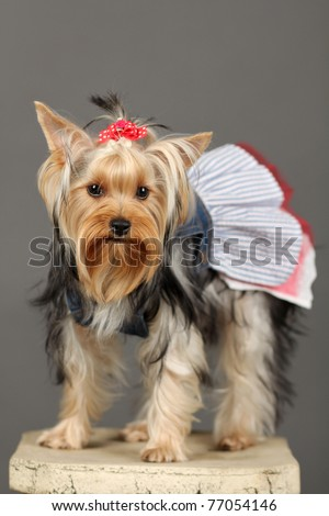 Yorkshire Terrier isolated on grey