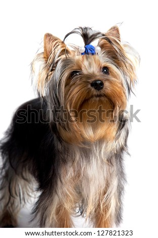 Yorkshire terrier isolated on the white background