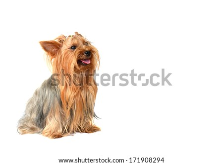 Yorkshire Terrier isolated on the white background - stock photo