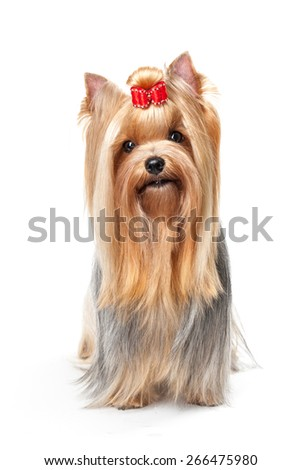Yorkshire Terrier isolated on white background