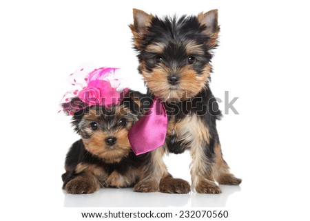 Yorkshire Terrier lady and gentlemen puppies posing on a white background - stock photo