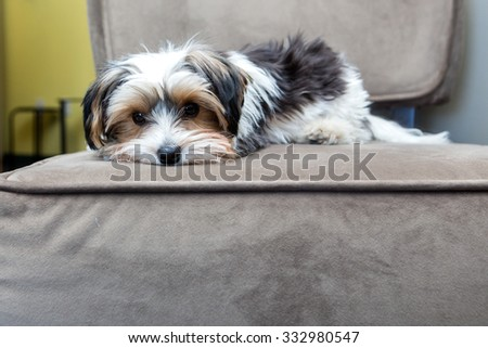 Yorkshire Terrier laying on a chair