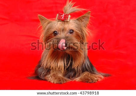 Yorkshire terrier licks itself lying on red background