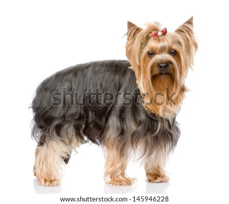 Yorkshire Terrier  looking at camera. isolated on white background