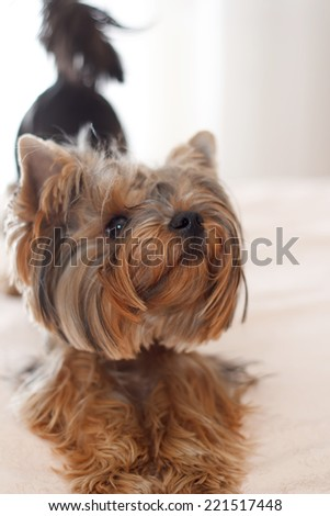 Yorkshire terrier, lucky puppy, young dog. Small dog breed terrier york. Funny puppy terrier with hair on his head.small dog breed terrier york funny puppy. Happy dog.