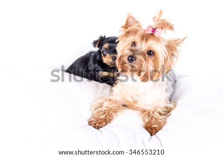 Yorkshire terrier mom and pup, 2 months old, isolated on white.