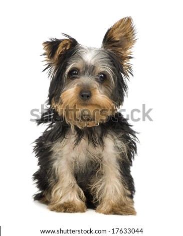 Yorkshire Terrier (3 months) in front of a white background - stock photo
