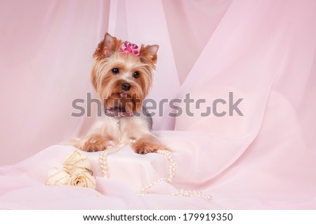 Yorkshire Terrier on a pink background - stock photo