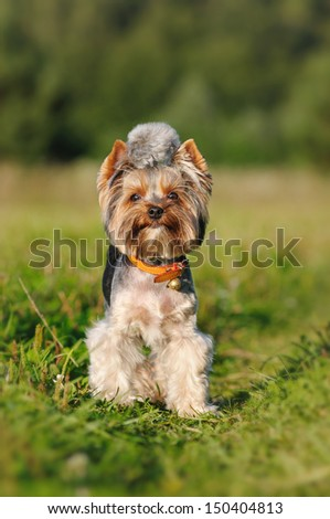 Yorkshire terrier on a summer outing