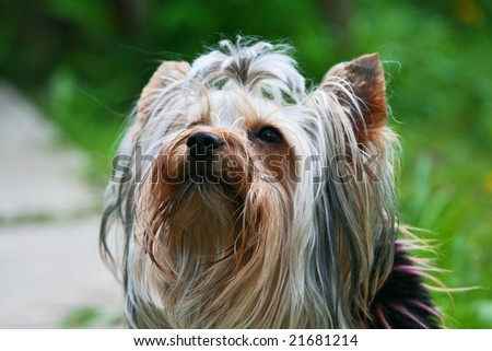 Yorkshire terrier on a trees background