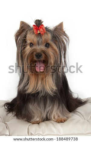 Yorkshire terrier on banquette. Isolated on white background.