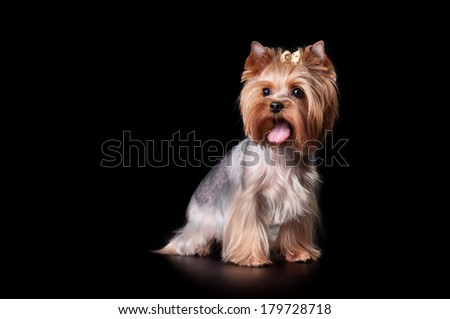 Yorkshire Terrier on black background - stock photo