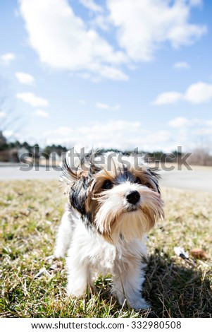 Yorkshire Terrier outside with blue skies