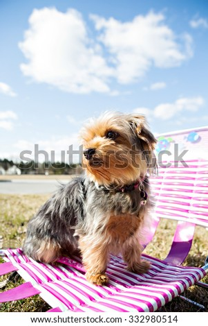 Yorkshire Terrier outside with blue skies sitting on a sun chair - stock photo