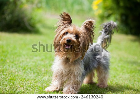 Yorkshire terrier playing in the park on the grass - stock photo