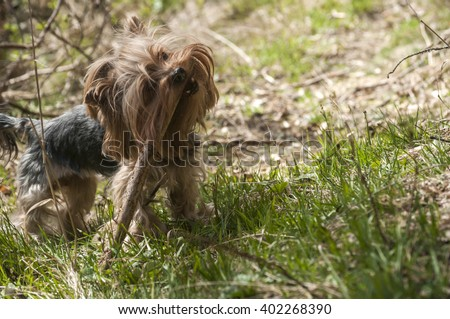 Yorkshire terrier playing with wooden stick in park forest