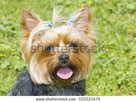 Yorkshire Terrier portrait - stock photo