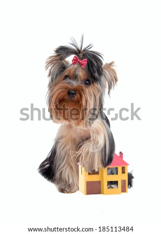 Yorkshire terrier protects the house like a faithful watchdog - stock photo