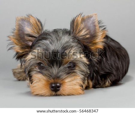 Yorkshire Terrier puppie, lying on a gray background. Not isolated.