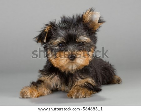 Yorkshire Terrier puppies, on a gray background. Not isolated.