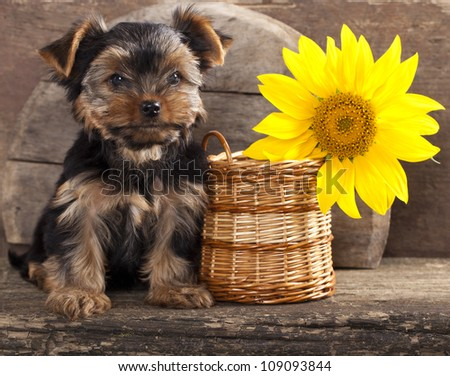 yorkshire terrier  puppy and sunflower - stock photo