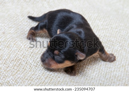 Yorkshire terrier puppy at the age of seven days