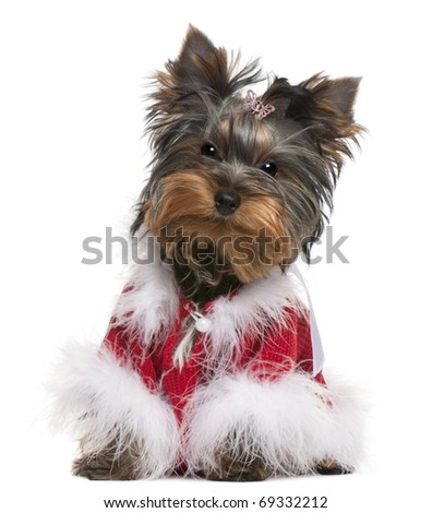 Yorkshire Terrier puppy dressed up, 4 months old, sitting in front of white background
