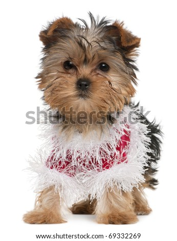 Yorkshire Terrier puppy dressed up, 3 months old, standing in front of white background - stock photo