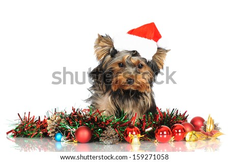 yorkshire terrier puppy in a santa hat - stock photo