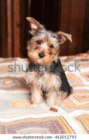 yorkshire terrier puppy in home interior